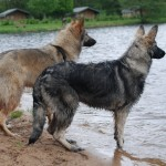 Honden - Shiloh Shepherd