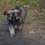 Puppie - Shiloh Shepherd