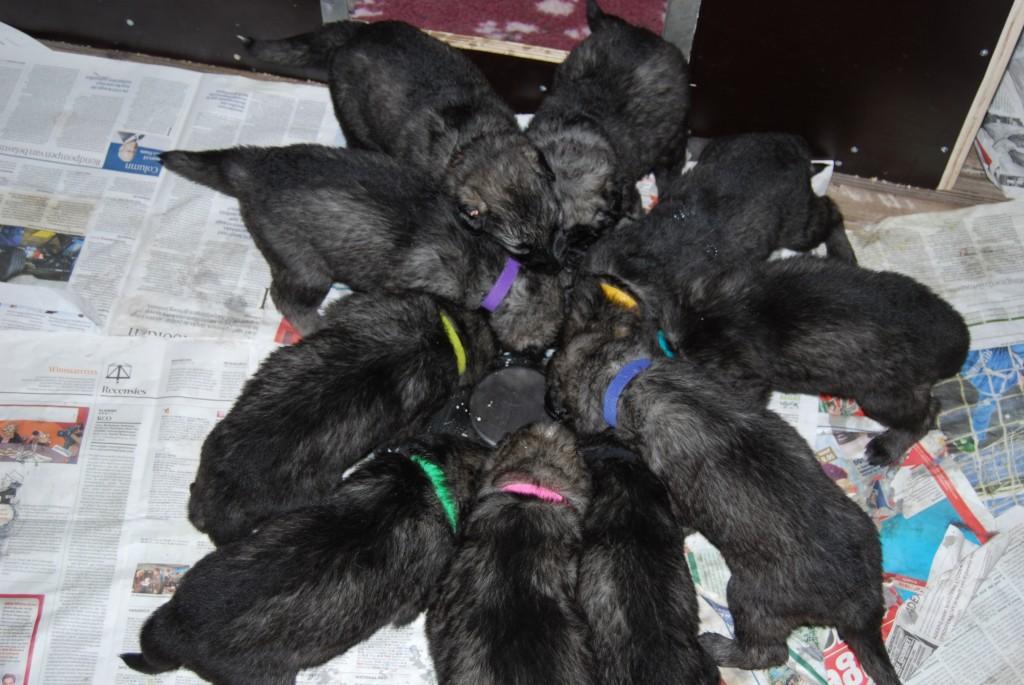 Puppies - Shiloh Shepherd
